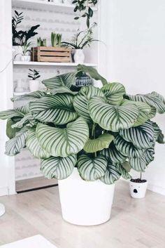 plantes à motifs calathea pot #design #plants #decoration