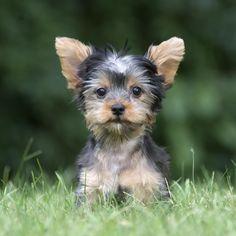 Cute little Yorkie with Gremlin ears. #Yorkie #puppy #gremlin #cuteness
