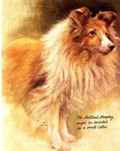 Shetland Sheepdog by Dutch artist Rien Poortvliet (mid to late 1900's)