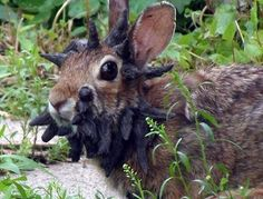 OMG! Minnesota's Monster Rabbit!  ... from PetsLady.com ... The FUN site for Animal Lovers