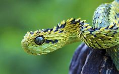 The Bush Viper lives in the trees of the tropical forests in Africa, and it does most of its hunting at night. As if snakes weren't already scary enough, this one looks as though it's covered in hundreds of spiky leaves! The slightly better news though is that they are a smaller species of snake, with the maximum length being 78cm!
