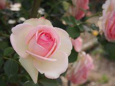 白にピンクの薔薇