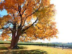 "Pelham's ""Comfort Maple"" is estimated to be Canada's largest Sugar Maple tree"