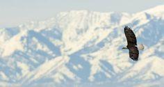 A bald eagle flies above Farmington Bay Waterfowl Management Area in Utah.