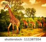 stock photo : Image of a South African giraffes, big family graze in the wild forest, wildlife animals safari, Kruger National Park, bushes of Sabi Sand game drive reserve, beautiful nature of Africa continent