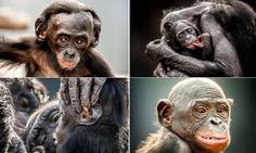 Extraordinary images that show just how similar we are to our closest living relative – the bonobo: Affectionate primates share 98.7% of human DNA right down to hair loss