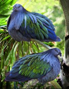 Nicobar Pigeons in Tampa FL. zoo. Caloenas nicobarica is a large heavy pigeon native to small uninhabited islands in Indonesia & the Nicobar Islands. It is the only living member of the genus Caloenas.   Metallic green with green & copper hackles on the neck.  The head & upper neck, flight feathers & breast are dark grey. The tail is very short & pure white.  There is a black knob on the base of the bill, & the strong legs are dark red.   Not very vocal, but has a low pitched repetitive…