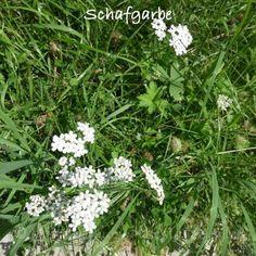 Essbare Blüten: Schafgarbe – Achillea filipendulina Gartenblog von Pascale