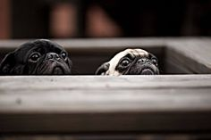Pugs a peeking, omg <3