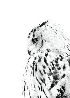 Poster med foto på vit uggla | Planscher | Desenio