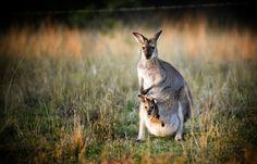 kangaroo_shutterstock_60942844