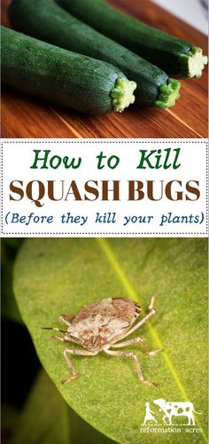 Cheap, easy, AND organic! This is the best way to kill squash bugs (and their eggs) before they start killing your pumpkins, zucchini, and cucumbers! #organicgardening #hack #homesteading #selfsufficiency