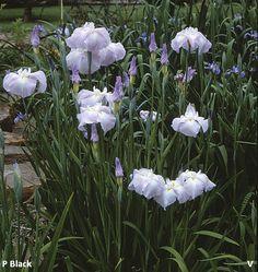 Agrippine  |  Historic Iris Preservation Society Mary Margaret, Irises, Garden Plants, Beautiful Flowers, Lawn, Gardening, Elegant, Amazing, Nature