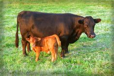 Black Dexter cow and red Dexter calf