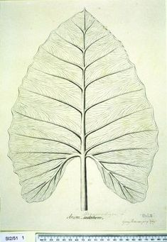 Alocasia Macrorrhiza, in the collection of botanical illustrations from Captain Cook's Endeavour voyage