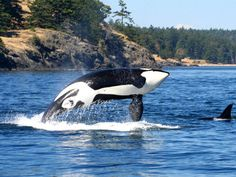 The only whale watching departing Seattle, Clipper's Seattle Whale Watching day trip includes a scenic cruise to spot Orcas. Whale sightings guaranteed!