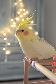 COCKATIEL~ I HAD TWO OF THESE BIRDS. THEY ARE SO SMART AND SO LOVING ~ THEY LOVE TO BE ON YOU AND THEY'LL EVEN SNUGGLE UP! YOU CAN EVEN TEACH THEM TO TALK~ AWESOME PET! 3