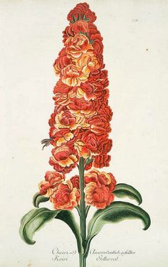 stilllifequickheart:  Georg Dionysius Ehret Gillyflower 18th century