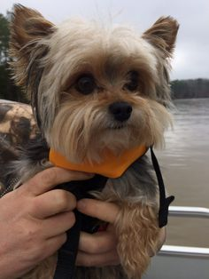 Murphy goes with our family everywhere! If you tell him boat …he runs to get his life jacket! Love my baby! Murphy is 6 years old and weighs 5 lbs. Cute Puppies, Cute Dogs, Animals And Pets, Cute Animals, Yorshire Terrier, Yorkie Dogs, Yorkshire Terrier Puppies, Shih Tzu, Beautiful Babies