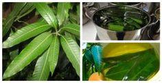 Con tan solo hervir estas hojas cura la diabetes sin necesidad de utilizar medicamentos, esto es mágico!!