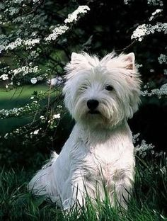 my dream doggy~~ Westie--West Highland Terrier West Highland Terrier, Highlands Terrier, Love My Dog, White Puppies, White Dogs, Westies, Bichons, Pet Dogs, Dogs And Puppies
