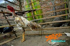 Ayam saigon probolinggo indonesia