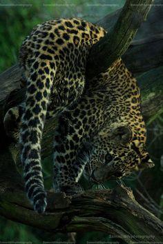 Eqiunox: Up Side Down Leopard By Sam2103