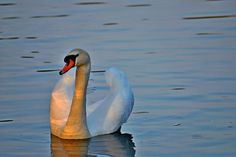 Swans mate for life #mate #life #forever #love #romance #monogamy #lovebirds