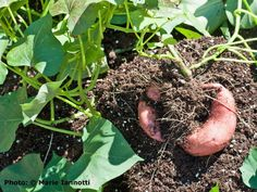 How to Grow Sweet Potatoes in Your Garden: Sweet potatoes need a long growing season, but you'll have plenty to store for later use.