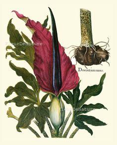 BOTANICAL PRINT Besler 8x10 Botanical Art Print 70 Beautiful