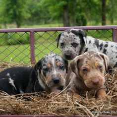 Catahoula I am dying from all the cute