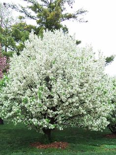 Lancelot crabapple good for use in small space gardens, only 10 feet tall.