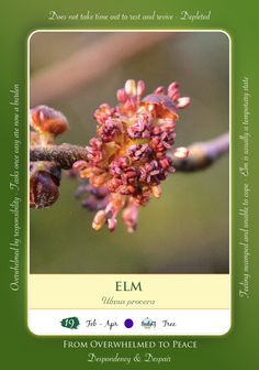 Bach Flower Remedy - ELM