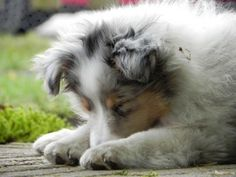 Adorable Blue Merle Sheltie