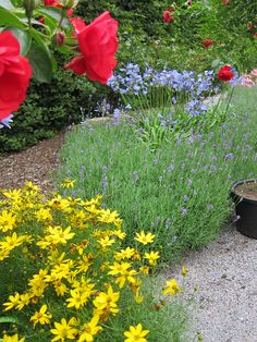 Cottage garden style: Heat- and drought-tolerant plants for cottage gardens in hot, dry climates: yellow coreopsis, red (Scarlet) Flower Carpet roses, purple lavender and blue-purple Bluestorm agapanthus