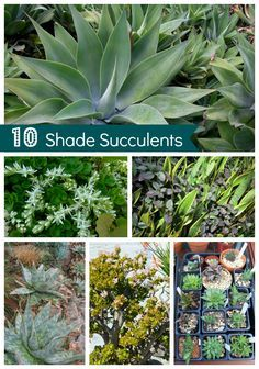 10 Shade Succulents For Your Drought-Tolerant Garden #gardening