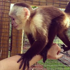 #capuchin #monkey #cute #primate #primates #wildlife #animals