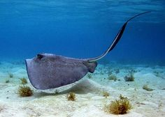 FLMNH Ichthyology Department: Southern Stingray