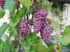 Viiniköynnös - Vitis `Somerset Seedless`