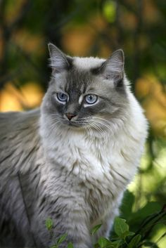 Gorgeous light grey cute cat.. click on pic to see more