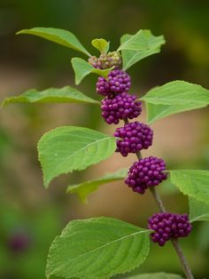Beauty Berry- I have this in my yard.  It is stunning in the fall with light yellow leaves and those purple berries.  The birds love them.  It is a native shrub and relatively drought tolerant.  Doesn't require a lot of care.