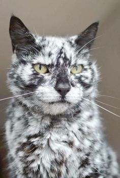 This is scrappy and he is really that colour Scrappy was born in 1997 as a black cat and only a few years ago he started turning white (maybe vitiligo) and has ended up with this extraordinary pattern Tap the link Now - All Things Cats! - Treat Yourself and Your CAT! Stand Out in a Crowded World!