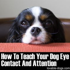 How To Teach Your Dog Eye Contact And Attention	►►	http://lovable-dogs.com/how-to-teach-your-dog-eye-contact-and-attention/?i=p
