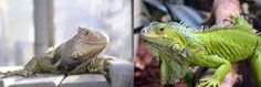 Caring for Your Green Iguana