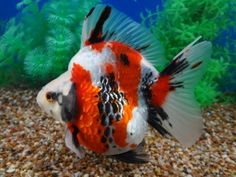 Going to be adding some very cool goldfish to my mini pond soon. Ryukin Goldfish, Comet Goldfish, Goldfish Pond, Colorful Fish, Tropical Fish, Goldfish Species, Cool Fish, Freshwater Aquarium Fish, Pet Fish