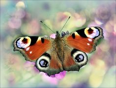 Peacock butterfly. by bri curtis on 500px