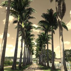 Boa noite a todos!  pdaspalmeiras@gmail.com /  (19) 98311-4441 /  (19) 3342.8312 / #palm #plantas #plantio #palmeira #palmtree #palmeiras #paisagismo #paisagista #portaldaspalmeiras #instagarden #farm #landscape #landscapedesign #gardendesign #arquitetura #urbanismo #obras #decor #jardim #jardinagem #home #design #gopro #homedecor #work #workhard #plantasornamentais by portaldaspalmeiras