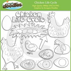 Chicken Life Cycle Line Art Download - Click Image to Close