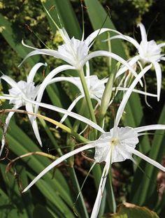 Hymenocallis 'New Lion' (New Lion Spider Lily)