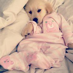 Golden retriever puppy cozy in her pajamas